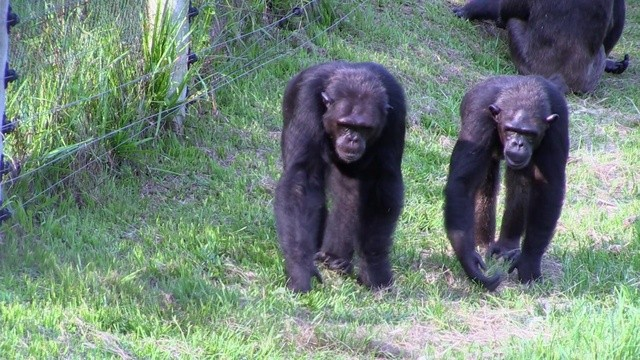 Rescued Chimpanzees of the Congo With Jane Goodall - Aired ...